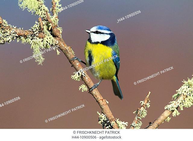 Branch, Knot, Blue Tit, Cairngorms, Cyanistes caeruleus, titmouse, male, national park, park, portrait, Scotland, Great Britain, blue, mature, sit, male, stand