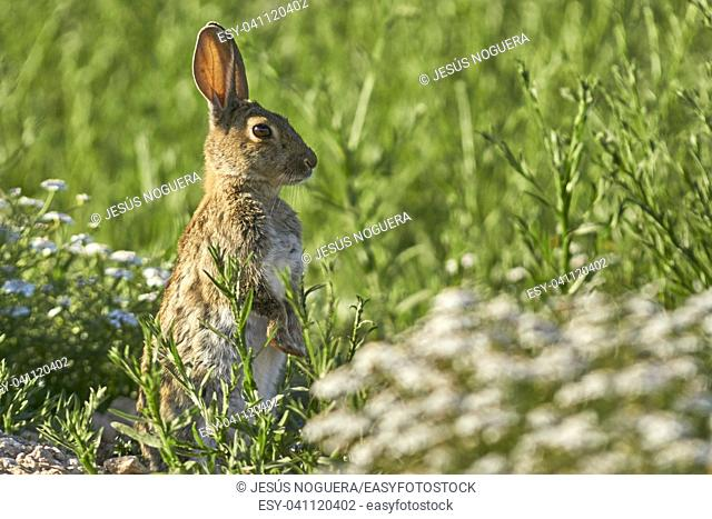 Common or European rabbit (Oryctolagus cuniculus), Andalusia. Spain