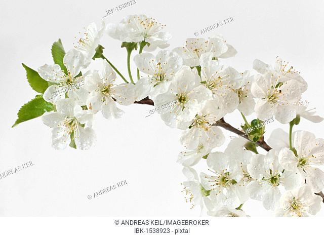 Sour Cherry (Prunus cerasus) blossoms