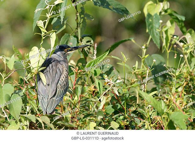 Ave, Heron-socoí, Pantanal, Mato Grosso do Sul, Brazil