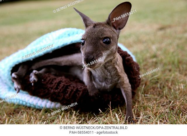 A six-month-old Bennett's wallaby named Arinya crawls out of a wool cap at Marlow Bird Park in Marlow, Germany, 21 May 2015