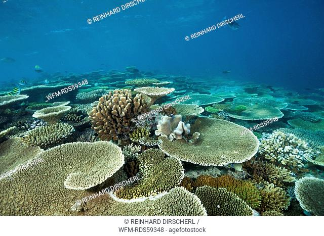 Table Corals on Reef Top, Acropora sp., Ellaidhoo House Reef, North Ari Atoll, Maldives