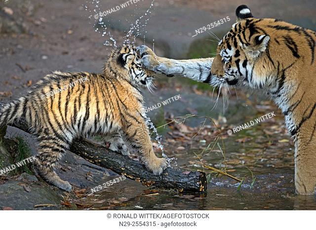 Siberian Tiger, (Phantera tigris altaica), young animals captive, Germany