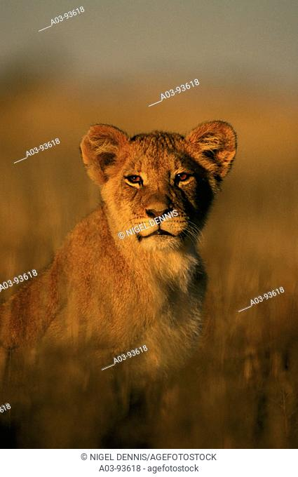Lion (Panthera leo) cub. Kalahari-Gemsbok National Park, South Africa