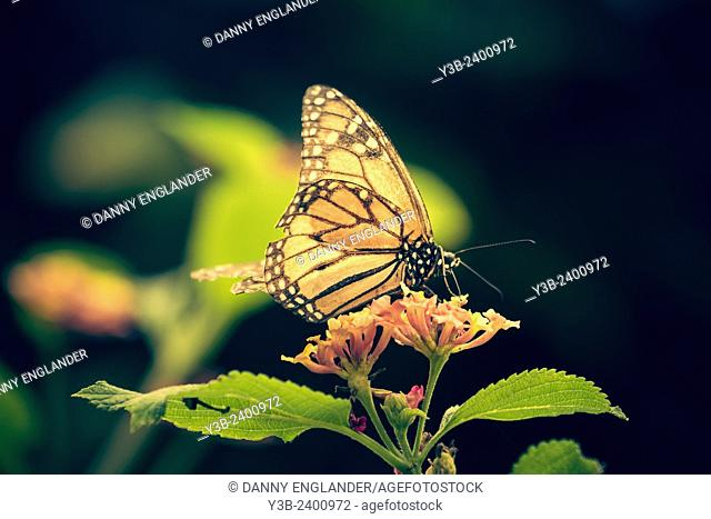 Monarch butterfly on green leaves vintage-sstyle