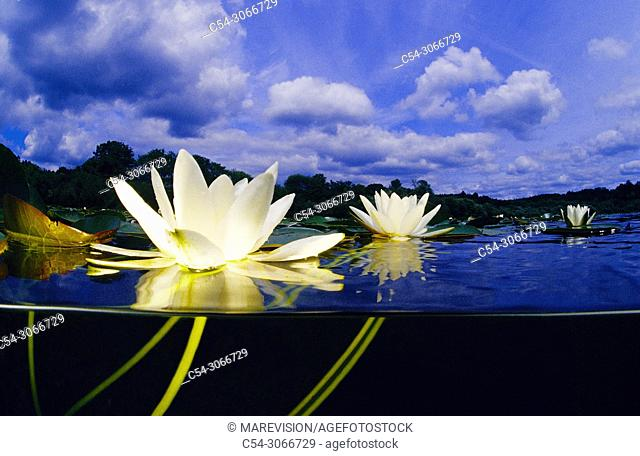 Freshwater plants. Water lily. White water lily (Nymphaea alba). Lagoon of Sobrado dos Monxes. Galicia. Spain. Europe