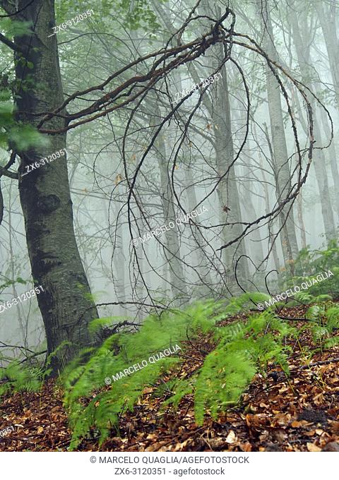 Misty beech forest (Fagus sylvatica) at Coll Sobirana site. Spring time at Montseny Natural Park. Barcelona province, Catalonia, Spain