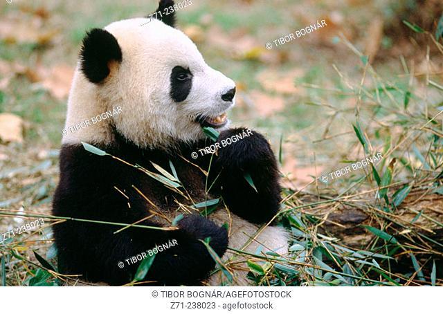 Giant Panda Breeding Research Base. Giant Panda (Ailuropoda Melanoleuca). Near Chengdu. Sichuan province. China