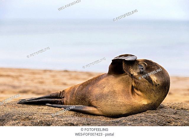 Ecuador, Galapagos Islands, Floreana, Punta Cormorant, young sea lion with fin on his snout