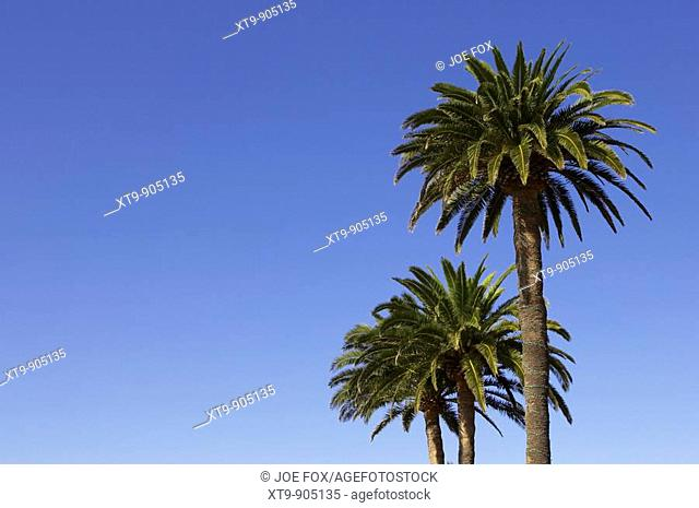 three Canary Islands Date Palm Phoenix canariensis against a blue sky Tenerife Canary Islands Spain