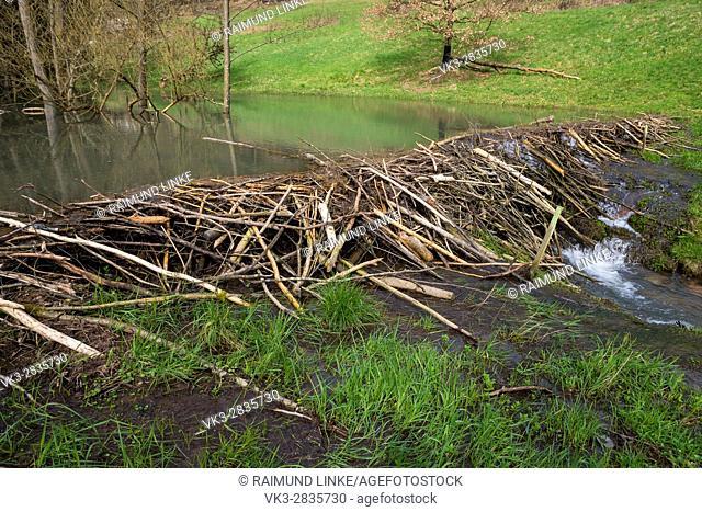Beaver dam from european beaver, Castor fiber, Spessart, Bavaria, Germany, Europe