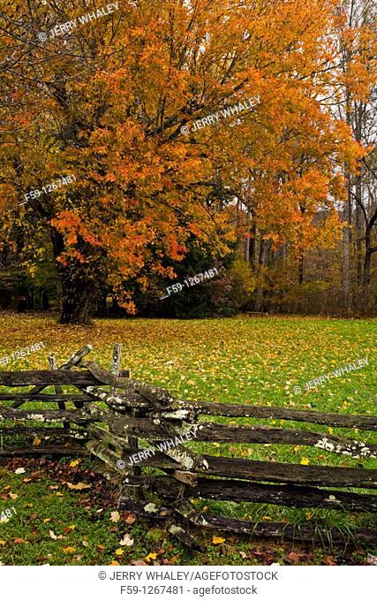 Maple Tree, Oconaluftee Pioneer Homestead, Great Smoky Mtns National Park, NC