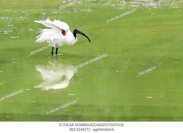Black-headed Ibis (Threskiornis melanocephalus) shaking feathers. Keoladeo National Park. Bharatpur. Rajasthan. India