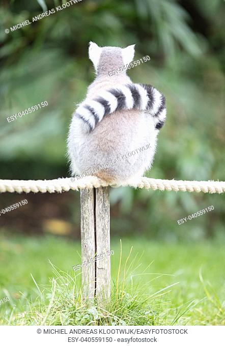 Ring-tailed lemur (Lemur catta) relaxing on a pole