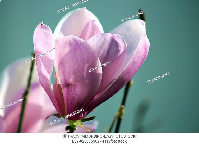 Close up of a two tone pink Leonard Messel Magnolia tree flower in full bloom in spring