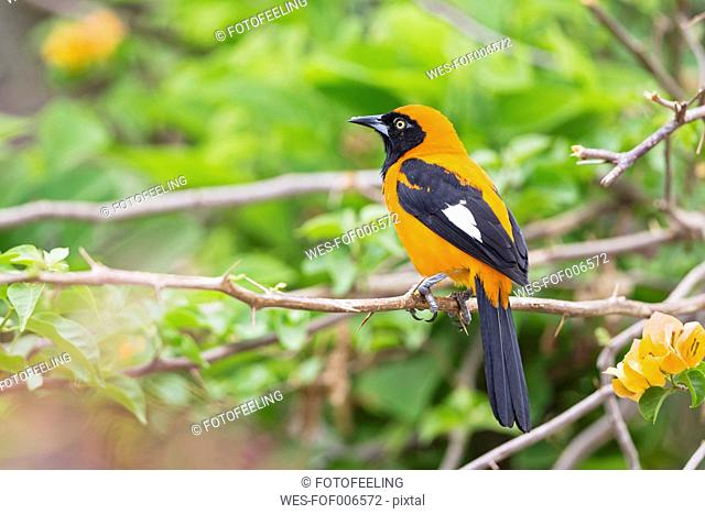 South America, Brasilia, Mato Grosso do Sul, Pantanal, Orange-backed Troupial, Icterus croconotus