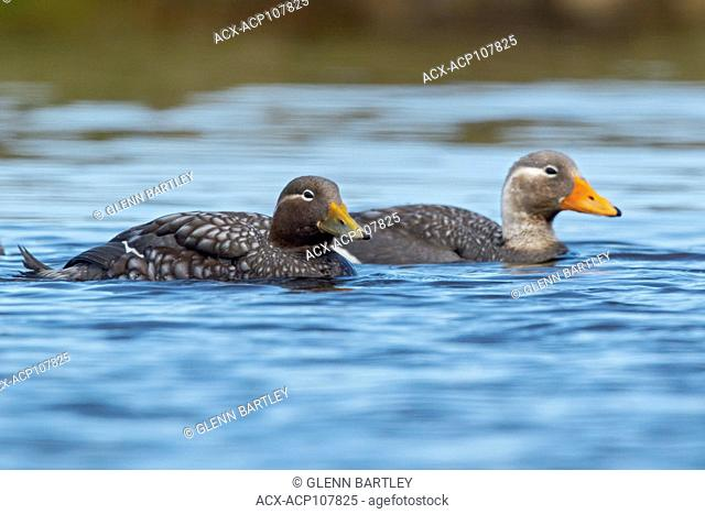 Flying Steamer Duck (Tachyeres patachonicus) swimming on a small pond in the Falkland Islands
