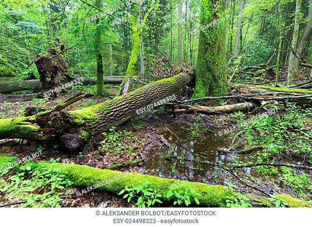 Deciduous stand rain after in summer with oak logs moss wrapped lying,Bialowieza Forest,Poland,Europe
