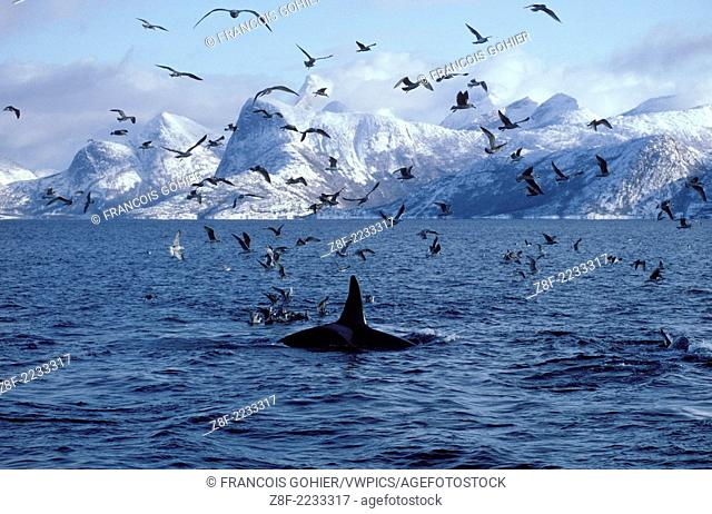 Killer whale.Orcinus orca.Photographed in Tysfjord, Norway. This population of killer whales feed on herring. In the fall