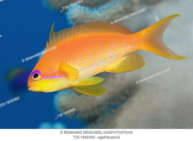 Lyretail Anthias, Pseudanthias squamipinnis, Felidhu Atoll, Maldives