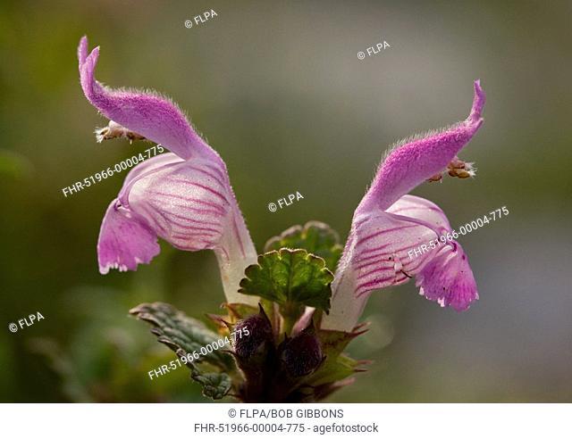 Gargano Dead-nettle Lamium garganicum close-up of flowers, Mount Parnassus, Greece