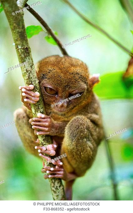Tarsier at Tarsier Visitors Center, Bohol, Visayas islands, Philippines