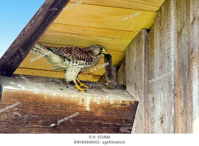 European Kestrel, Eurasian Kestrel, Old World Kestrel, Common Kestrel (Falco tinnunculus), female waiting in front of a nest box with a mouse in the bill