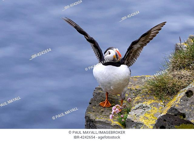 Puffin, also Atlantic Puffin (Fratercula arctica) perched on cliff rocks with open wings, Westfjords, Iceland