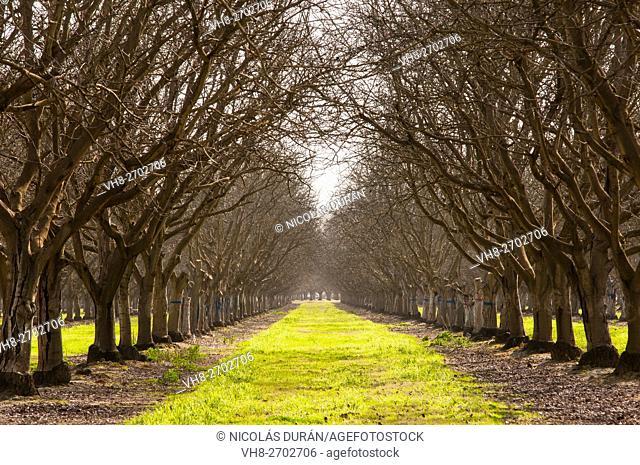 Walnut tree plantation. Badajoz. Extremadura. Spain