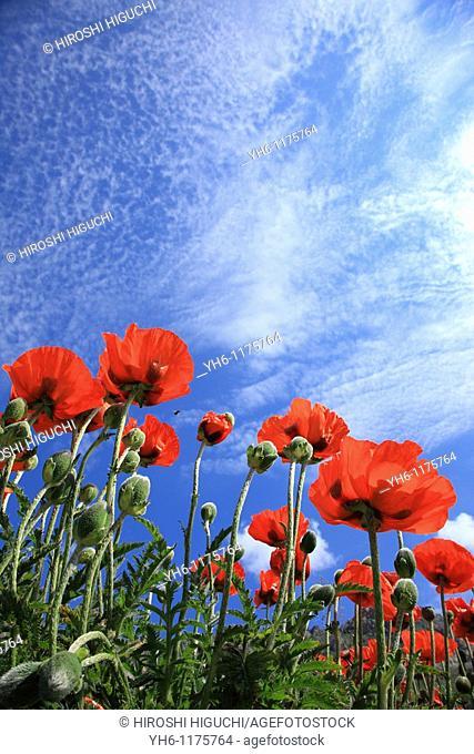 Poppy flowers, France, Savoie, Val d'Isere