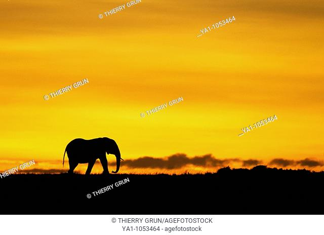 Lonely male african elephant Loxodonta africana walking on sunrise horizon  Masai Mara national park, Kenya