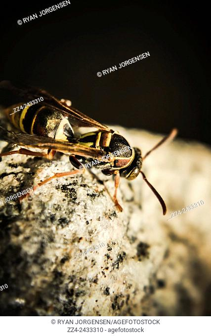Closeup nature photo on a tiny wasp climbing stones and pebbles. Wasp hunt
