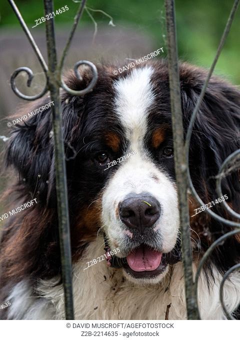 Close up face and head of a Bernese Mountain Dog