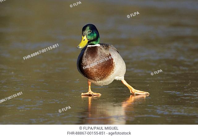 Mallard Duck (Anas platyrhynchos) adult male, slipping on frozen lake, Leeds, West Yorkshire, England, January
