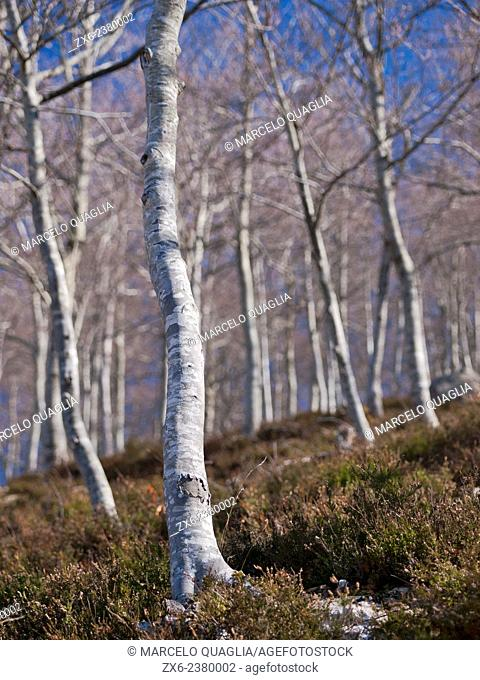 Winter beech forest. Montseny Natural Park. Barcelona province, Catalonia, Spain