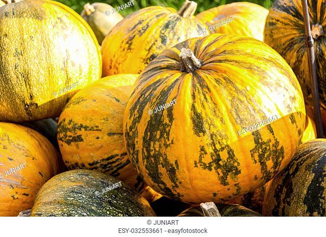 Oil Lady Godiva cucurbita pumpkin pumpkins from autumn harvest on a market