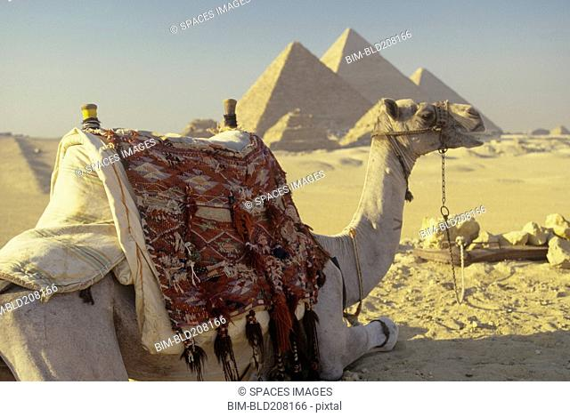 Camel and pyramids in desert, Giza, Egypt
