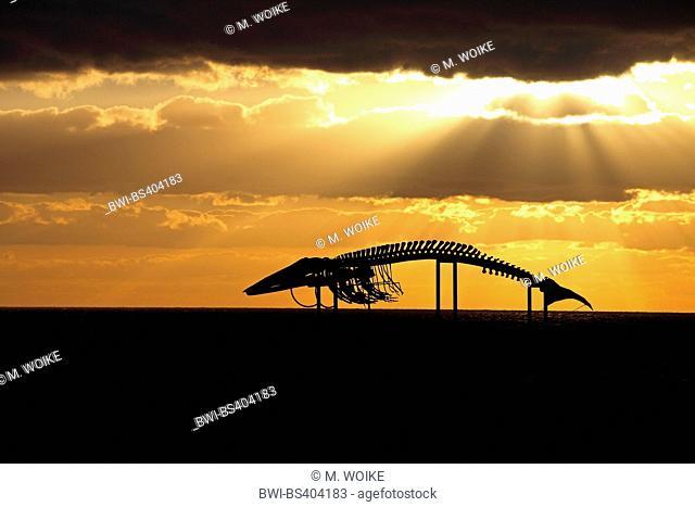 sperm whale, great sperm whale, spermacet whale, cachalot (Physeter macrocephalus, Physeter catodon), skeleton of a sperm whale at sunrise near Casas de las...