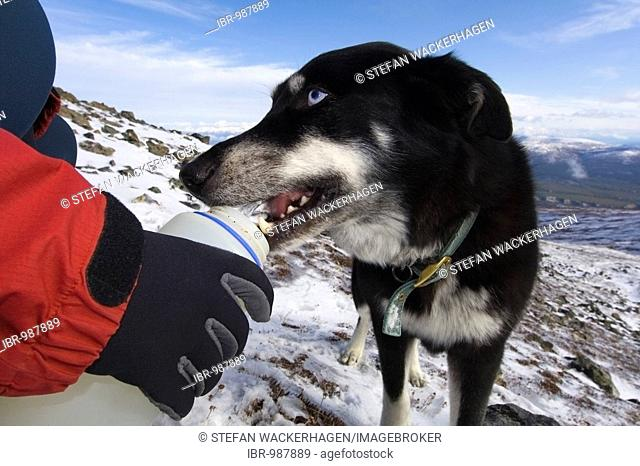Blue eyed husky drinking water from a water bottle, Yukon Territory, Canada, North America
