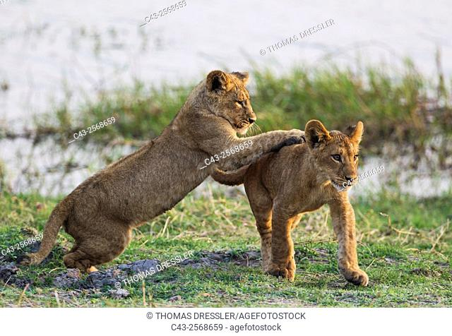 Lion (Panthera leo) - Two playful cubs in the early morning. Chobe National Park, Botswana
