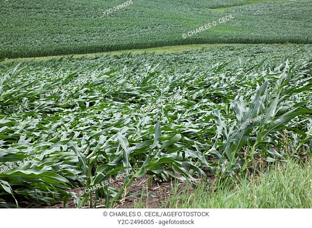 Crop damage. Corn fields showing extensive wind damage. Eastern Iowa, near Dyersville, USA