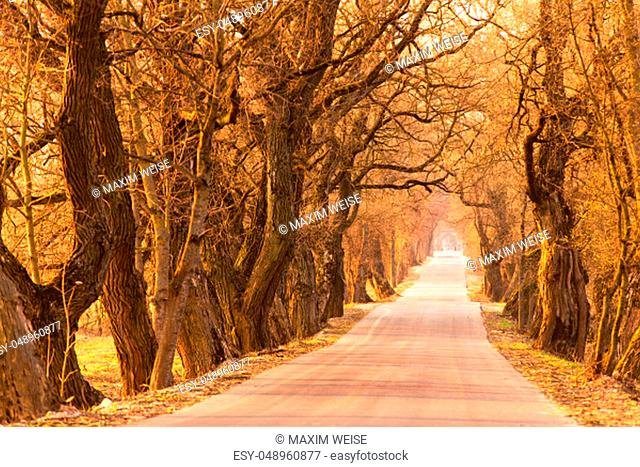 Poplar alley in spring. Majestic tree alley with old trees. Road running through Tunnel of Trees