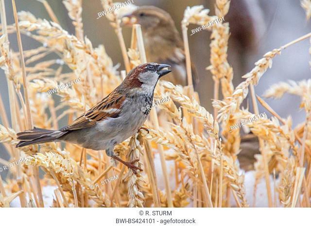 house sparrow (Passer domesticus), in a wheatfield, Germany, Bavaria, Niederbayern, Lower Bavaria