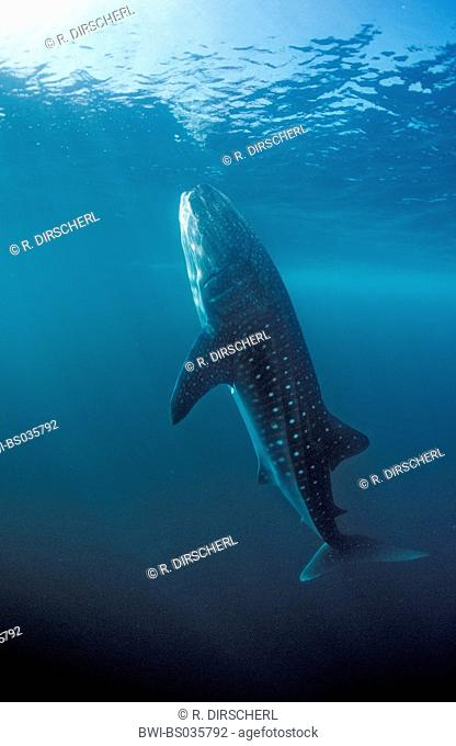 whale shark (Rhincodon typus), eating, largest fish of the world, Thailand