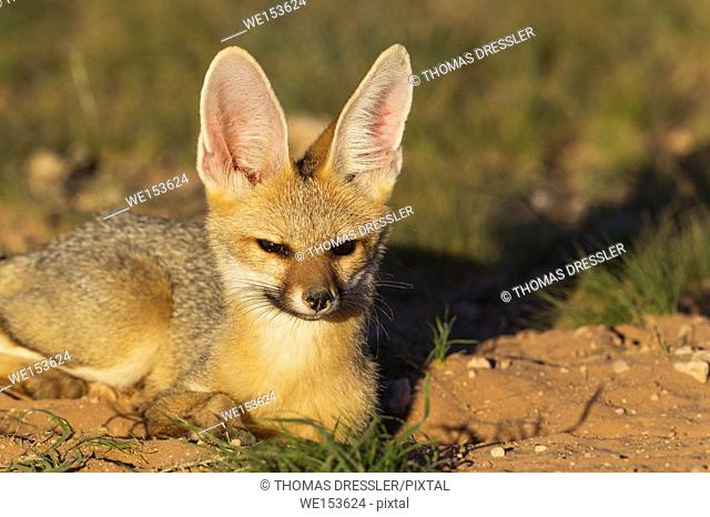 Cape Fox (Vulpes chama). Resting in the late evening at its burrow. Kalahari Desert, Kgalagadi Transfrontier Park, South Africa