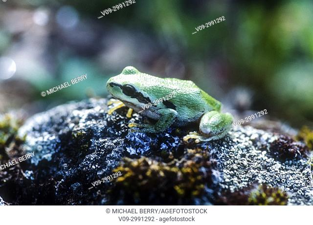 Pacific Treefrog, McCall Preserve, Oregon, USA