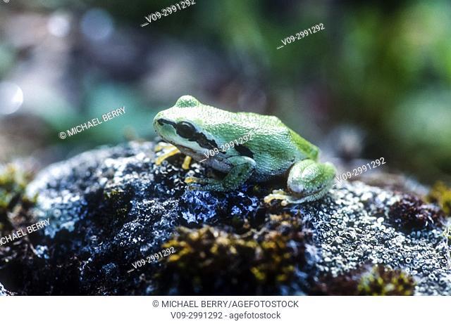 Pacific Treefrog, McCall Preserve, Oregon, USA