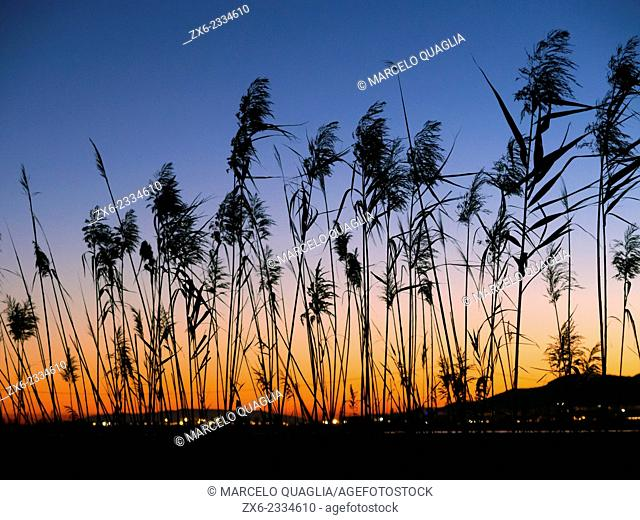 Sant Carles de la Rapita street lights with Common reeds at dusk. Ebro River Delta Natural Park, Tarragona province, Catalonia, Spain
