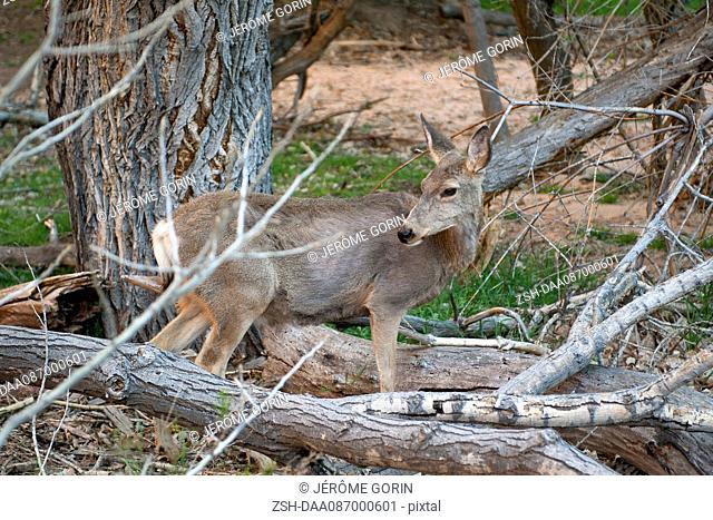 Deer in Zion National Park, Utah, USA