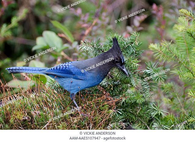 Steller's Jay, Cyanocitta stelleri, Western Washington